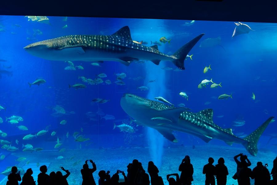 沖縄県 美ら海水族館 巨大なジンベエザメ